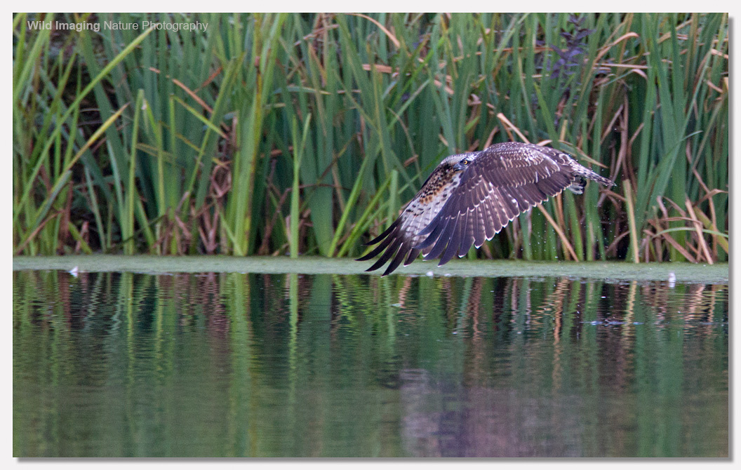 Osprey flight over water