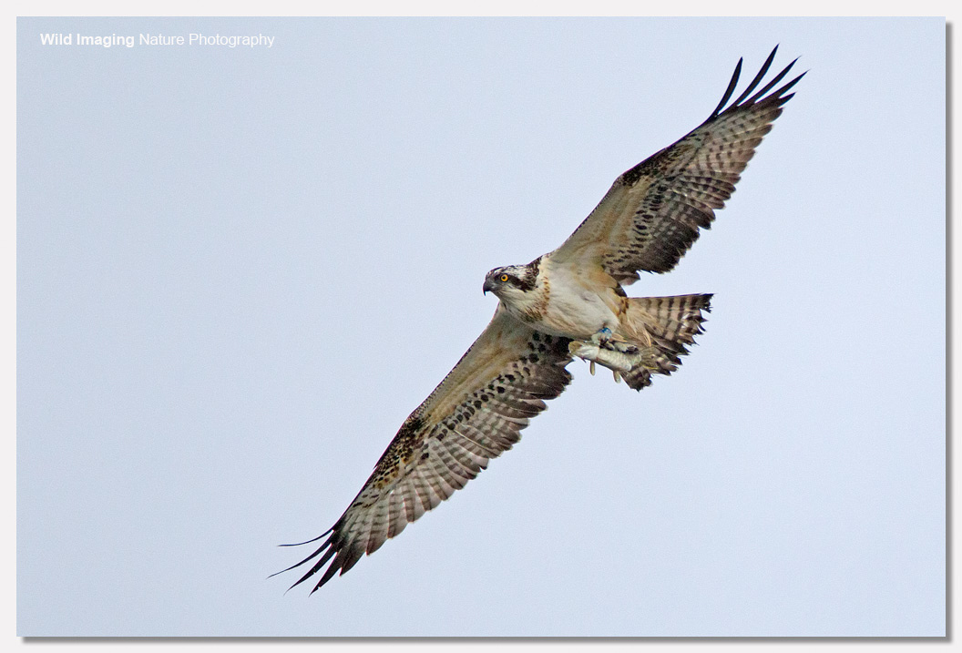 Osprey leaving with pike 1