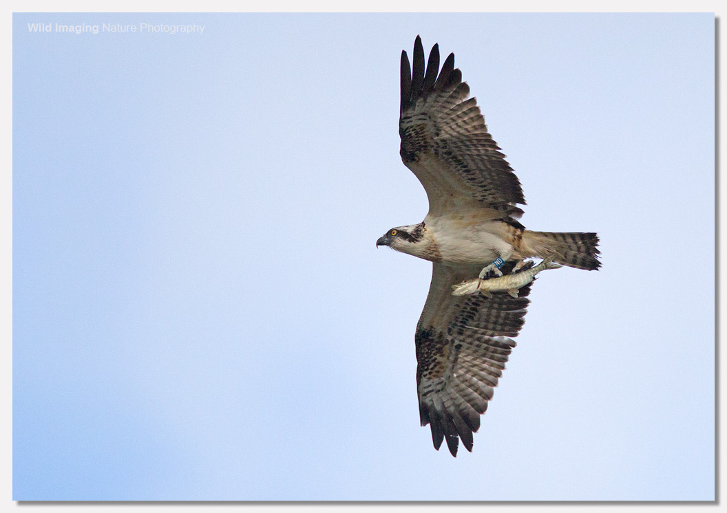 Osprey leaving with pike 2