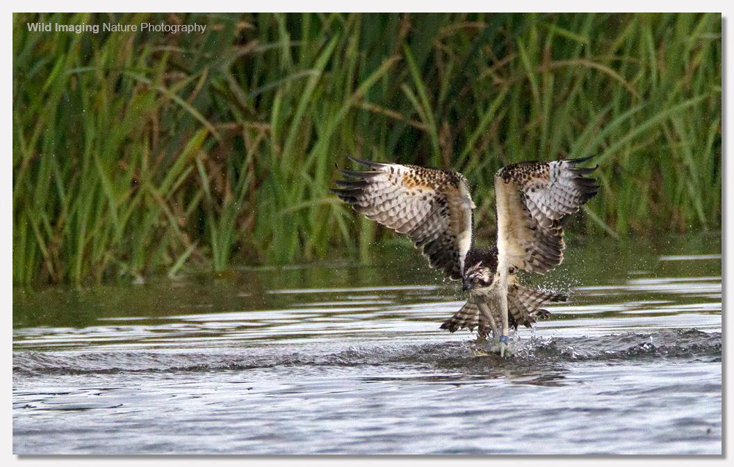 Osprey catching pike 2