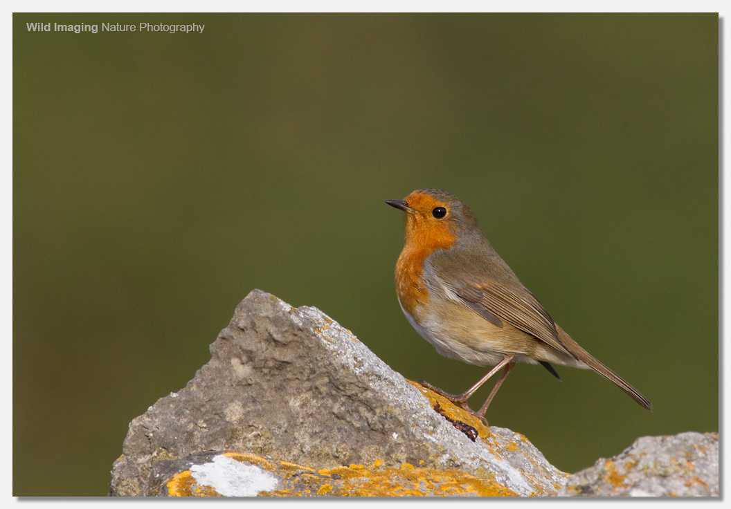 Robin on Brean Down