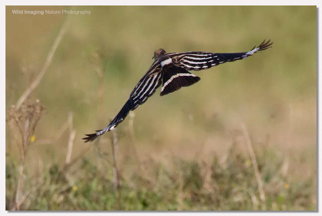 Hoopoe flying away