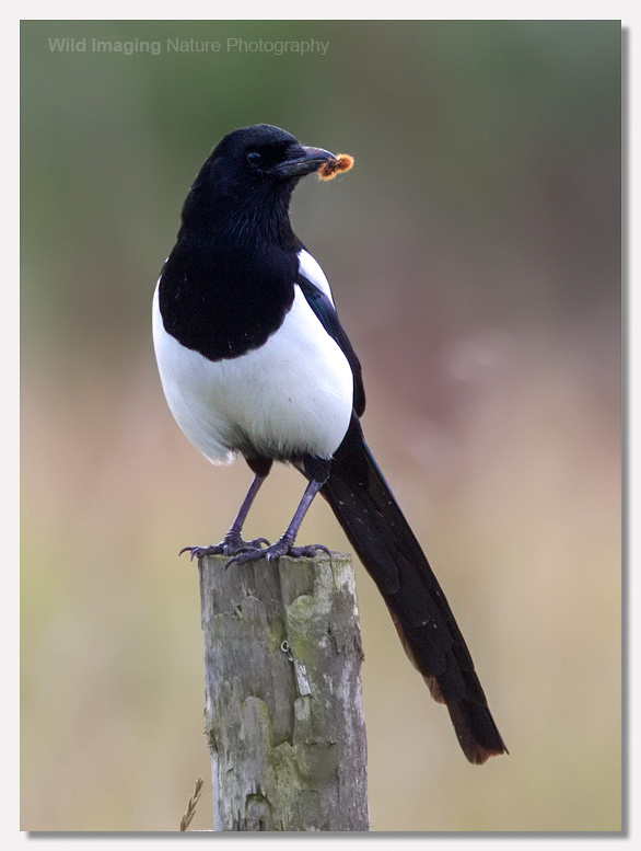 Magpie with caterpillar