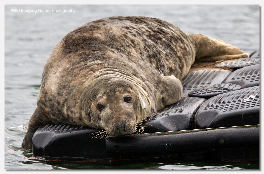 Grey Seal Pup on River Dart