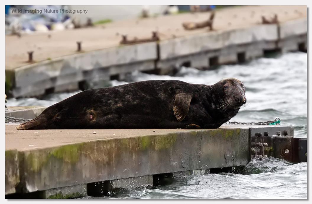 Grey Seal Bull on River Dart