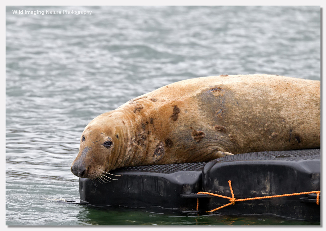 Grey Seal Cow on River Dart