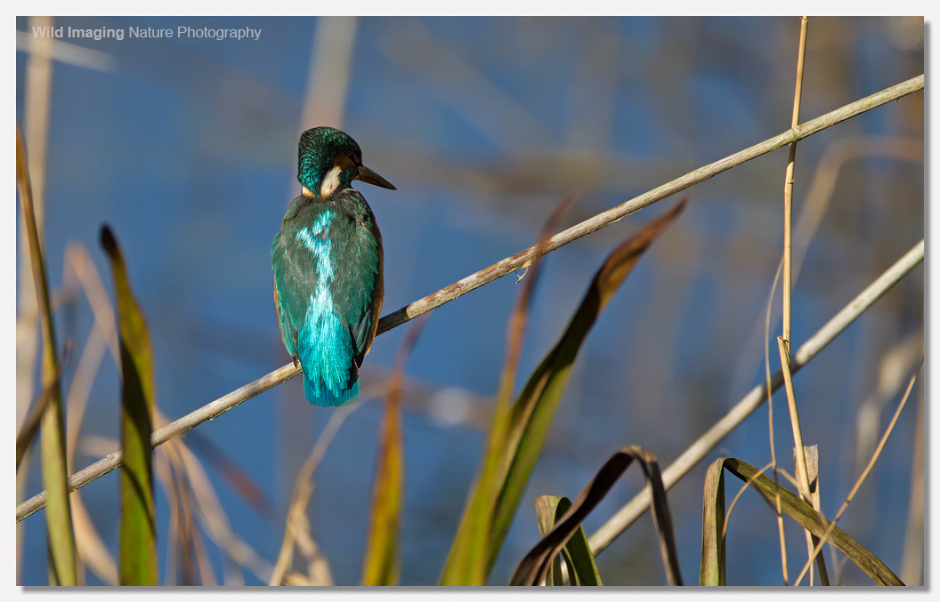 Kingfisher Shapwick Heath NNR 2
