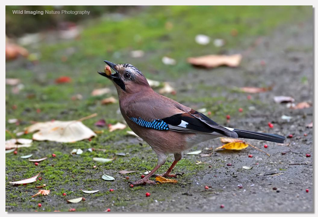 Jay in Botanical Gardens, Bath