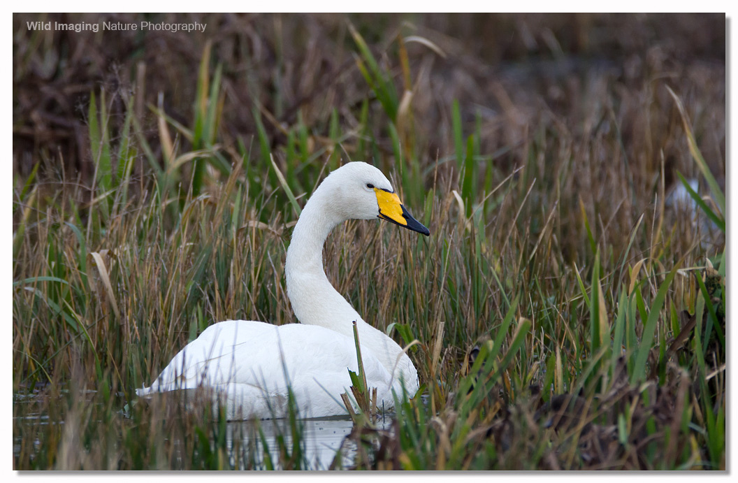 Whooper Swan at Catcott Lows 2