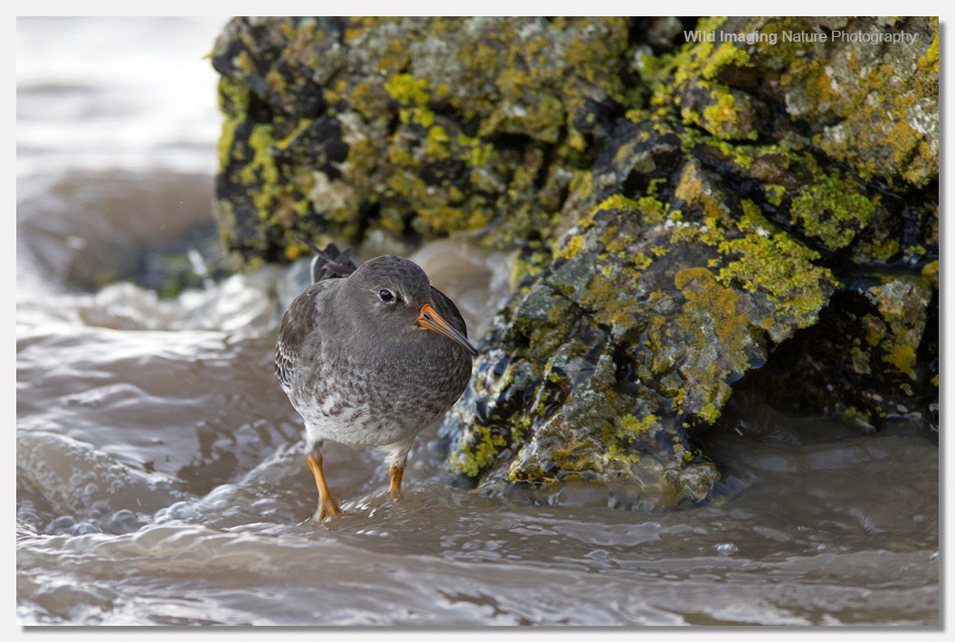 Purple Sandpiper at Batter Point 4
