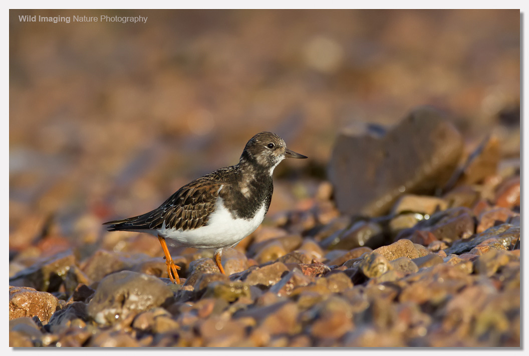 Turnstone at Battery Point 3