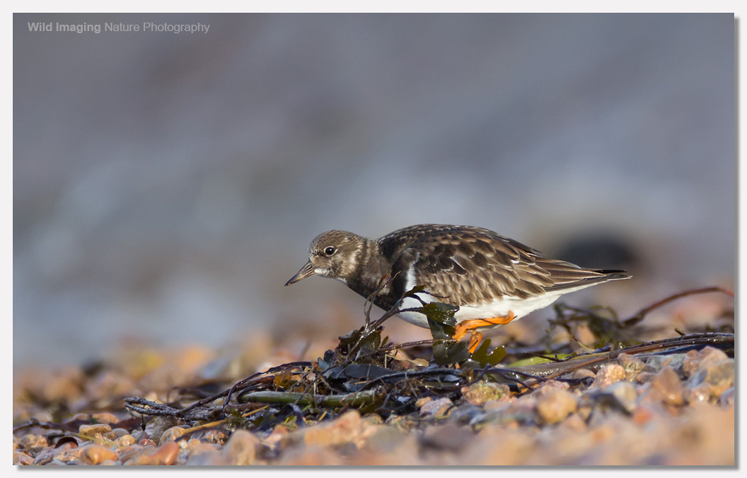 Turnstone at Battery Point 1