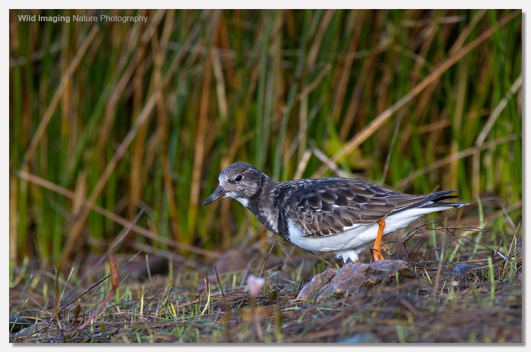 Turnstone at Battery Point 4