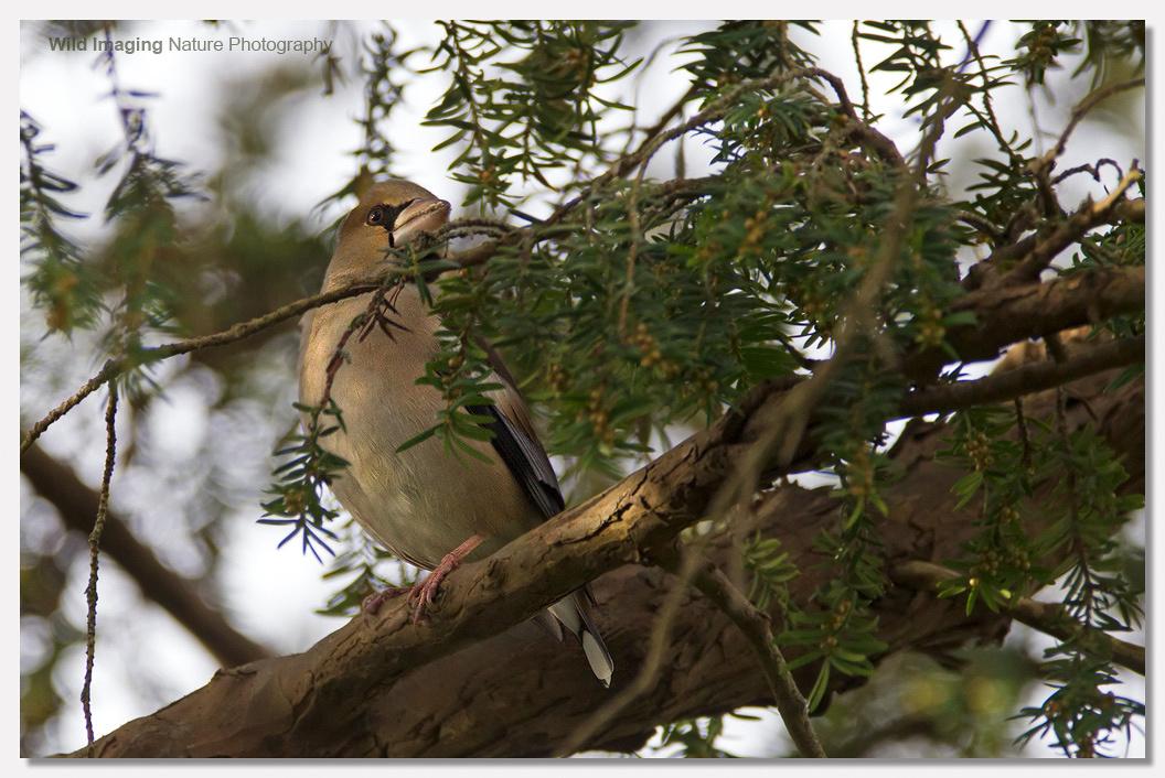 Hawfinch Bruton Churchyard 2012