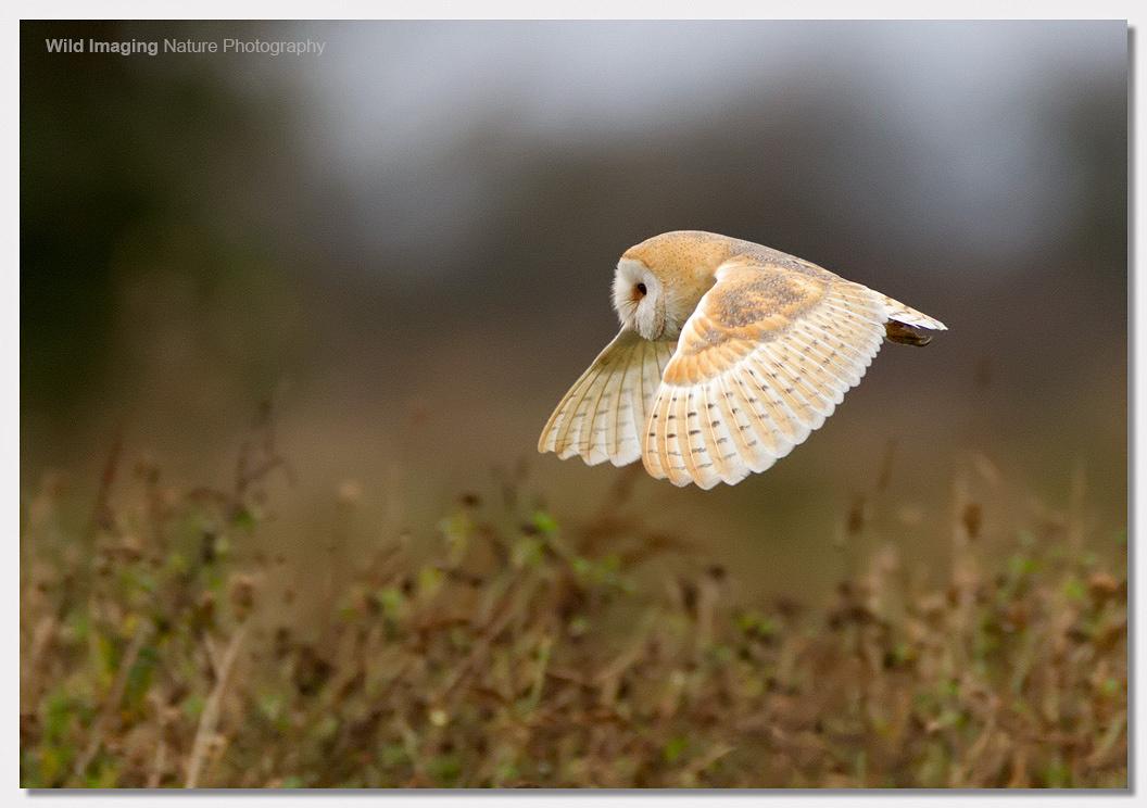 Barn Owl at Steart 1