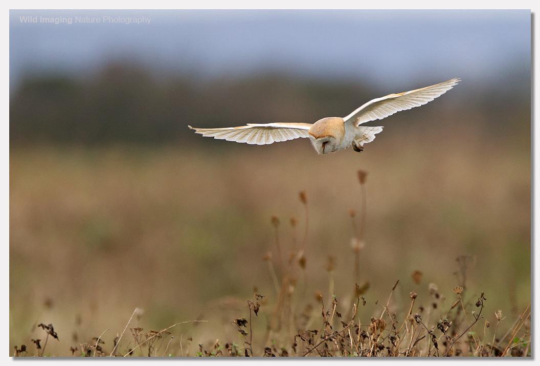 Barn Owl at Steart 3