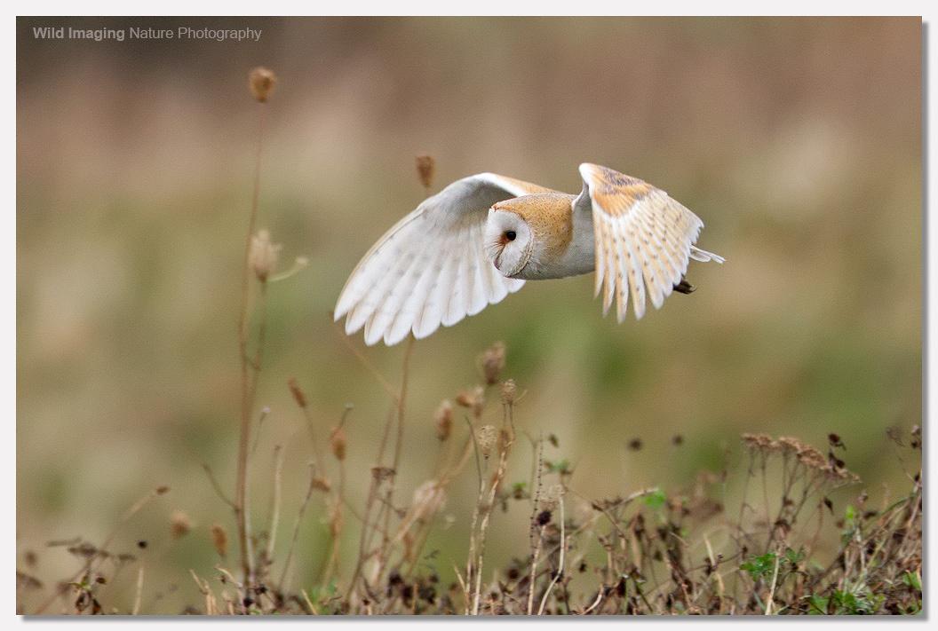 Barn Owl at Steart 4