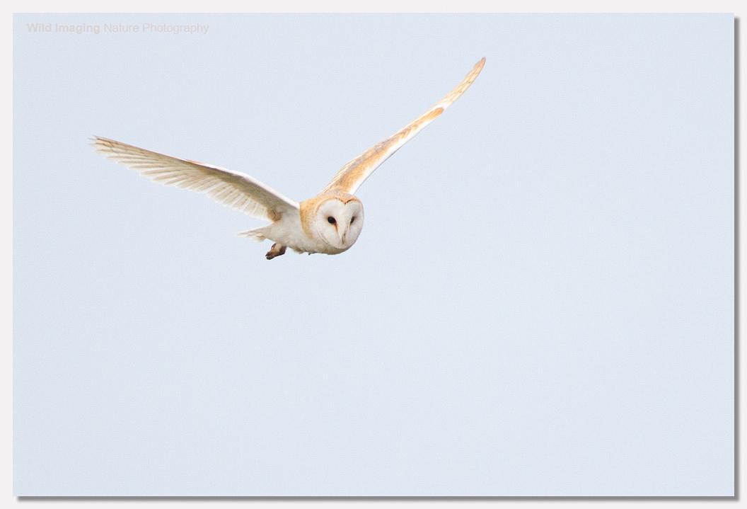 Barn Owl at Steart 2