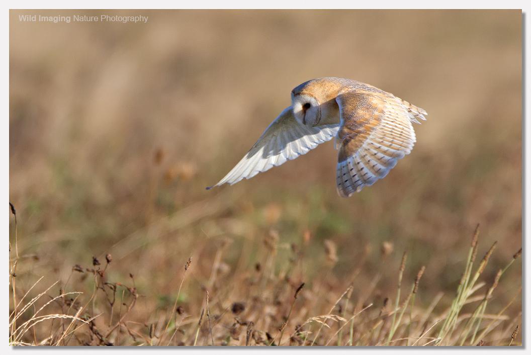 Barn Owl in Sunshine 2