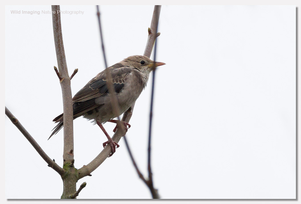 Rose-coloured Starling, Exminster 1