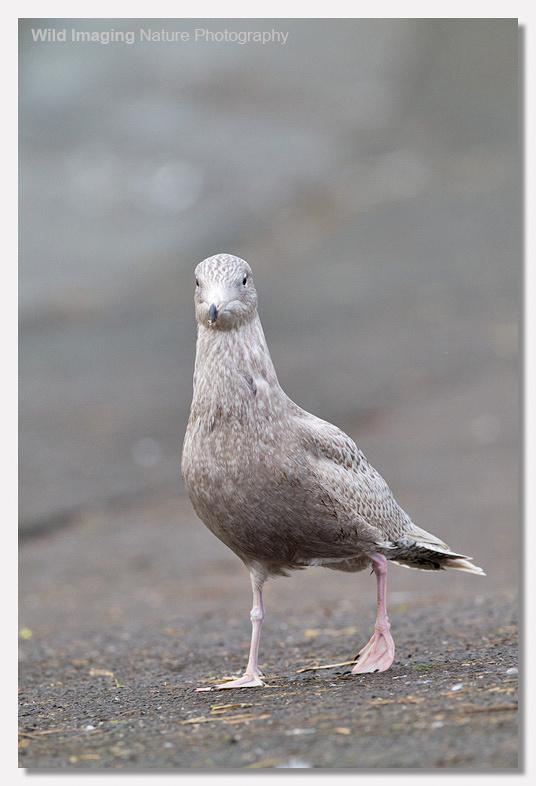 Glaucous Gull, Apex Lake, Burnhamn-on-Sea 5