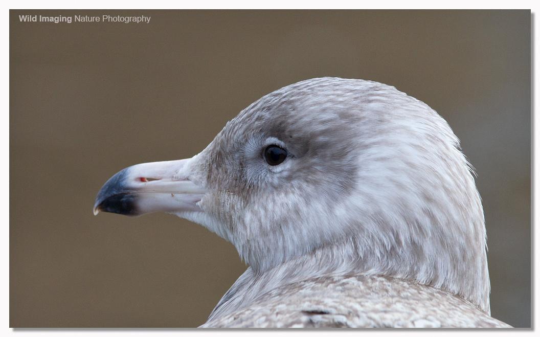 Glaucous Gull, Apex Lake, Burnhamn-on-Sea 1
