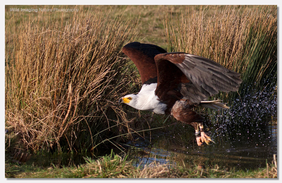African Fish Eagle - Haliaeetus vocifer (Captive)