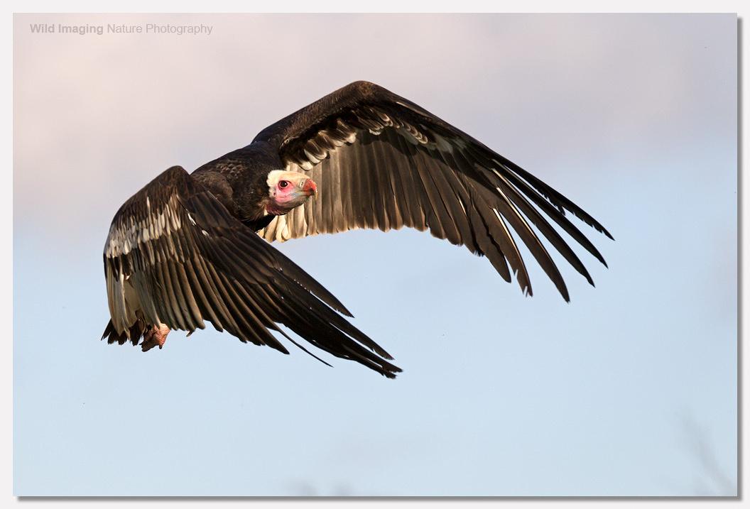 White-headed Vulture 2