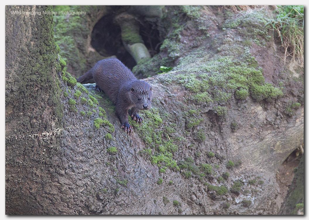 Otter 6