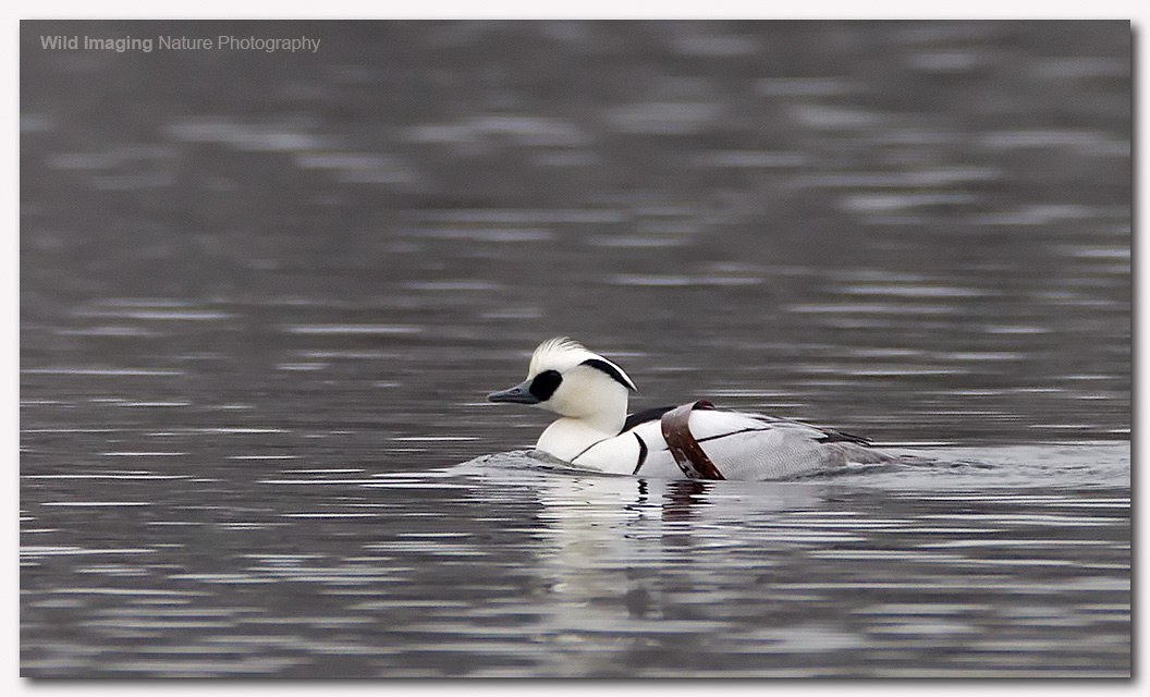 Smew at Shapwick Heath NNR 3