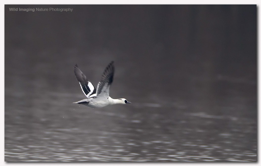 Smew at Shapwick Heath NNR 6