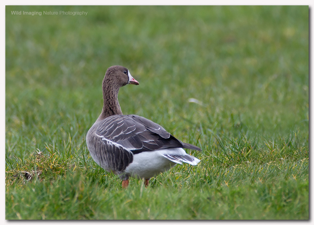 White Fronted Goose 2