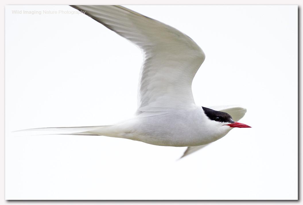 Arctic tern 1