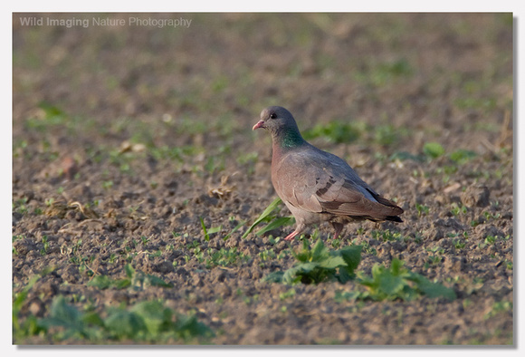 Stock dove - Columba oenas