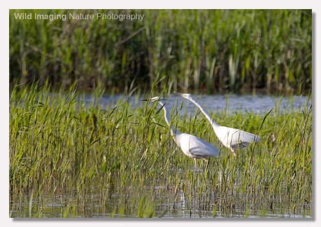 Flirting Great White Egret