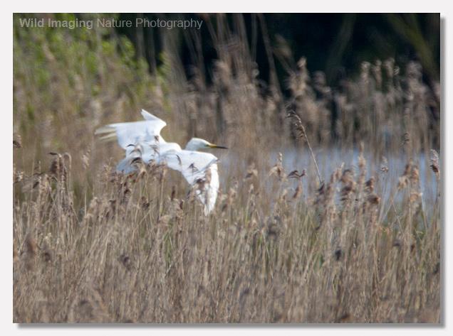 Great White Egret Nest Approach