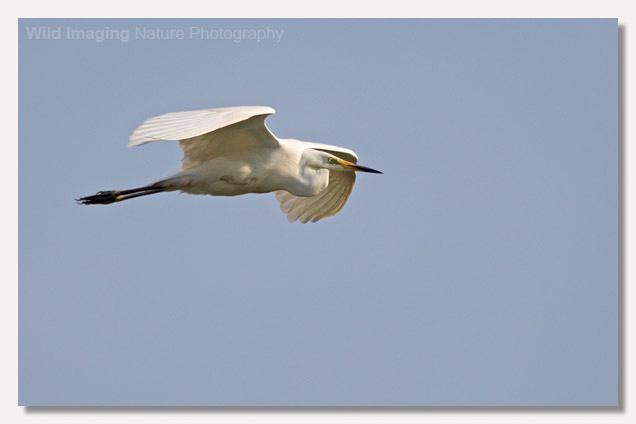 Great White Egret Approach Flight