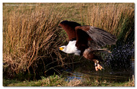 african_fish_eagle