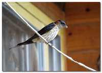 red-rumped_swallow