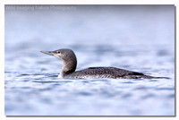 red-throated_diver