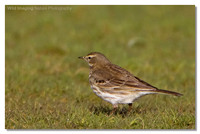 water_pipit