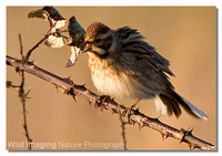 reed_bunting