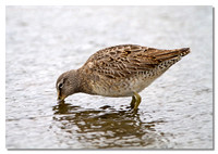 long-billed_dowitcher