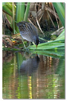 spotted_crake