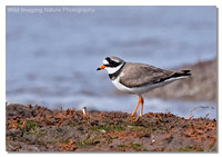 ringed_plover