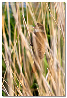 great_reed_warbler