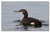 black-throated_diver
