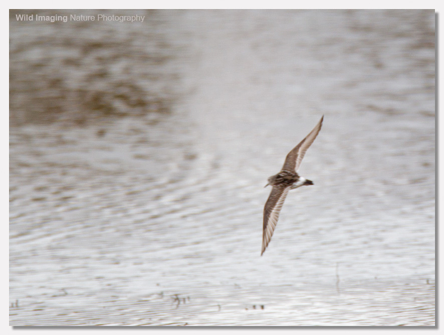 White-rumped sandpiper flight shot 2