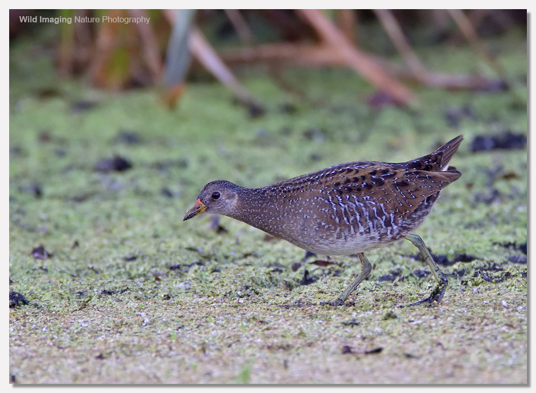 Spotted crake 3