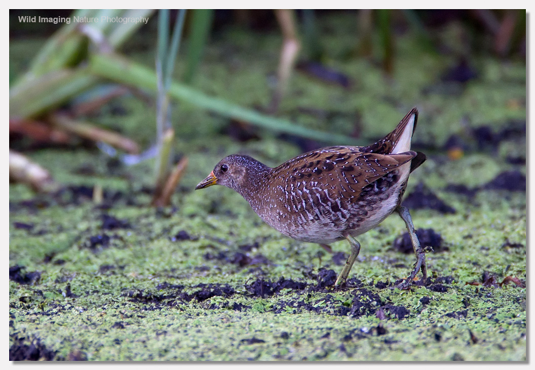 Spotted crake 2